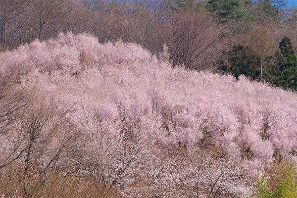 Hanamiyama 花見山